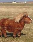 世界上最矮的马 马中柯基