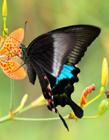 美丽的蝴蝶图片