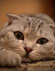 折耳猫高清照片