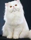 波斯猫图片大全可爱