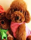 泰迪狗图片大全可爱