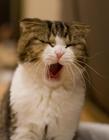 打哈欠的猫咪图片 猫咪犯困唯美图片