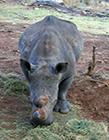 白犀牛图片