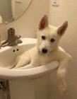 狗狗厕所搞笑图片 狗和马桶