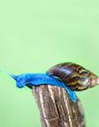 以色列蓝蜗牛