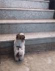 狗狗上楼梯视频 狗狗不会上下楼梯