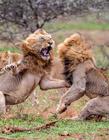 雄狮之间的战斗 史上最厉害的雄狮