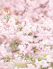 樱花唯美图片