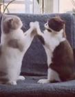 两只猫咪拍手 两只猫拍手是什么原因