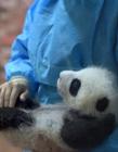 成都23只熊猫照片