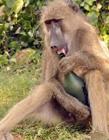 狒狒搞笑图片 什么动物爱喝酒