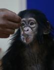 刚出生猩猩没奶吃 刚出生的小猩猩图片