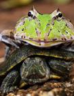 青蛙骑乌龟搭便车 男子拍青蛙骑乌龟