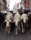 2016马德里羊群 西班牙庆牲畜迁移节