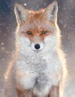 狐狸高清图片