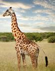 长颈鹿图片大图