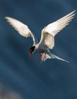 北极燕鸥图片