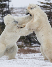 两个北极熊打架