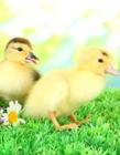 可爱小鸭子图片大全