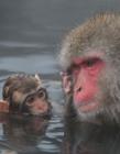 日本猴子泡温泉图片