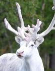 瑞典现罕见纯白色驯鹿 瑞典森林纯白驯鹿