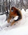 神农架金丝猴 神农架哪里看金丝猴