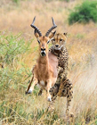 动物世界猎豹捕猎 动物捕猎精彩瞬间