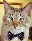 对眼猫图片 猫为什么会斗鸡眼