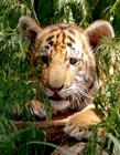老虎幼崽图片