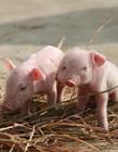 小猪吃奶图片