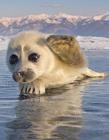 小海豹卖萌 小海豹图片