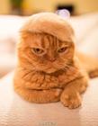 猫咪戴帽子 戴帽子的猫