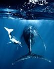 座头鲸图片