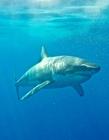 大白鲨和潜水员