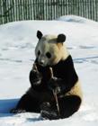 下雪的熊猫图片 熊猫遇到下雪