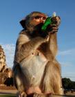 泰国猴子自助餐节