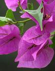 紫色三角梅图片