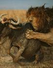 动物世界狮子猎食 狮子捕食视频血性场面