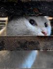 伪爱猫人每天杀猫100只 将猫肉当兔肉卖上餐桌