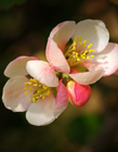 贴梗海棠花图片