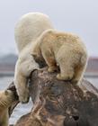 北极熊搞笑图片