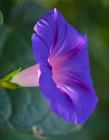 紫色牵牛花图片