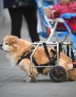 狗轮椅示意图 狗狗轮椅图片大全