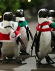 企鹅与圣诞 圣诞企鹅