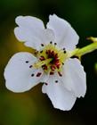 梨花高清图片