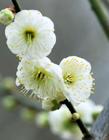 绿萼梅图片