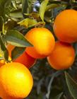 橘子高清图片 橘子高清图片大全大图