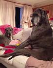 体型最大的汪星人 世界上最大的狗