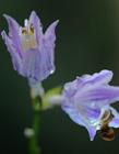 紫色玉簪花 玉簪花图片