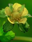 蛇莓花图片